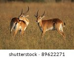 Two Male Red Lechwe Antelopes ...