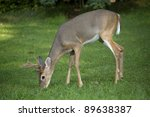 Six Point Whitetail Buck In...