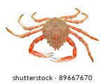 spider crab - stock photo