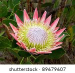 The King Or Giant Protea  Sout...