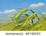 Barley Spikelet On The...
