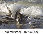 Small photo of Gulls feed Afterbirth from newly born Elephant Seal Pup