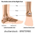 structure of the ankle joint... | Shutterstock .eps vector #89870980