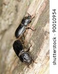 Mating Rhinoceros Beetle ...