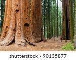 giant sequoia  sequoia np