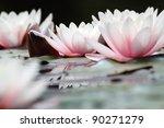 Blooming White Lotuses   Close...