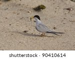 California Least Tern  Sternul...