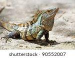 Black Spiny Tailed Iguana On...