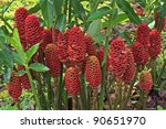 Red Pine Cone Ginger In The...