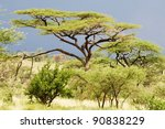 Acacia  Acacia Tortilis