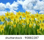 A Field Of Yellow Daffodil...