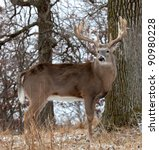 Profile Of White Tail Deer.