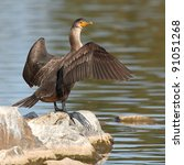 A Double Crested Cormorant...