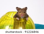 Brown Hamster Popping out of yellow Ball looking at the camera / This is a Brown Hamster pooping his head and shoulders out of a Yellow Ball. The Blue bottom adds depth and a touch of Spring. - stock photo