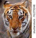 Close up of a white, brown and black striped tiger - stock photo