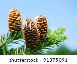 Branches Of A Pine With Cones