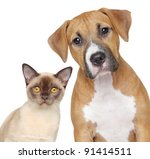 Stock photo burmese cat and staffordshire terrier portrait on white background 91414511