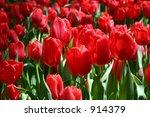red tulips | Shutterstock . vector #914379