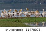 pelicans at lake nakuru... | Shutterstock . vector #91478078