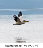 Soaring White Pelicans In Lake...