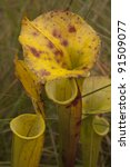 Group of Yellow Pitcher Plant - stock photo