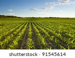 Green Field With Young Corn At...