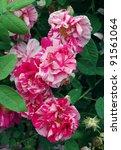 stripped flowers of rosa mundi | Shutterstock . vector #91561064