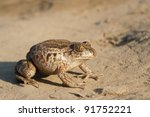 Common Spadefoot on the ground - stock photo