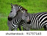 zebras over green background in ... | Shutterstock . vector #91757165