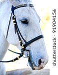 Lipizzaner White Horse with reins from the side/front - stock photo