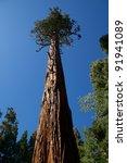 Giant Sequoia Tree In Yosemite...