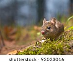 Wild wood mouse sitting on the forest floor with lots of copy space - stock photo
