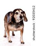 Old Senior Beagle standing against white background - stock photo