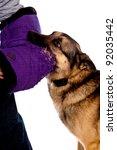German Shepherd dog biting an arm - stock photo