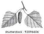 Betula Pendula   Silver Birch ...