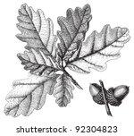 downy oak  quercus pubescens    ... | Shutterstock .eps vector #92304823