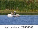 dalmatians pelicans  pelecanus... | Shutterstock . vector #92350369