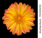 Dahlia Flower with Orange Yellow Petals Isolated on Black Background - stock photo