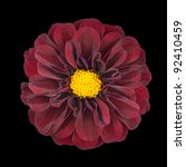 Red Dahlia Flower with Yellow Center Isolated on Black Background - stock photo