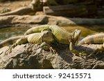 reptile animal   green iguana... | Shutterstock . vector #92415571