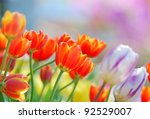 Close Up View Of Tulip In The...