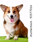 Welsh Corgi Pembroke dog sticking out tongue over white - stock photo