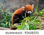 Fire Fox Or Red Panda  Ailurus...