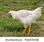 Chicken Hen outdoors on grass - stock photo