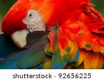 The Scarlet Macaw Is A Large...
