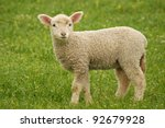 Young Lamb On Green Grass