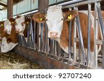 Cows In A Cow Shed