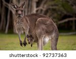 Kangaroo Mum With A Baby Joey...