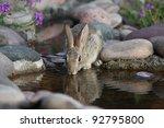 Rabbit Drinking At A Waterhole...