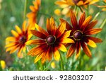Red Yellow Rudbeckia Flower In...